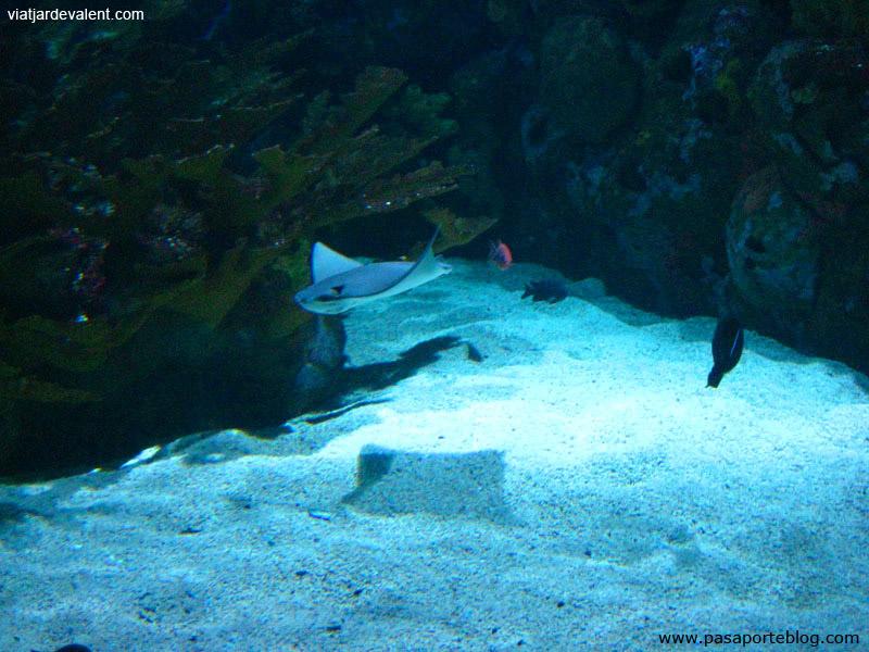 Manta al aquari de l'Oceanogràfic de València